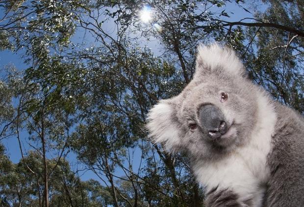koala ejpg